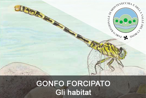 GONFO FORCIPATO